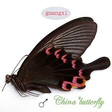 collection unmounted butterfly Papilio dialis cataleucas guangxi CHINA  A1-