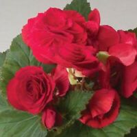 Begonia Seeds Fortune Scarlet Red 15 Pelleted Seeds