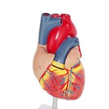 Large Anatomical Emulational Heart Anatomy Viscera Medical Cardiac Model N UKWG