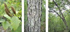 30 SCHMIDT'S BIRCH SEEDS - Betula schmidtii