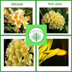 Clivia miniata cv yellow - Bush Lily - Rare - 3 seeds