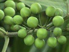 Thornless Solanum torvum Turkey berry Pea Eggplant 200 Seeds Vegetable & Herb