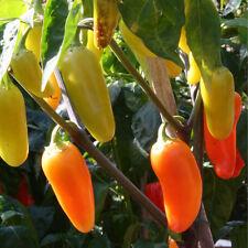 Numex Panecos Jalapeno-spezialzüchtung más afilado que Jalapeno-Chilli colorido Chili