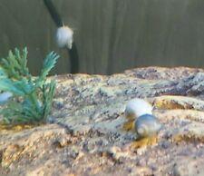4 Mystery Snails(2 Blue 2 Ivory).Gorgeous Color, Pea Size 2 Doa + Surprise item