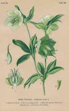 Helleborus VIRIDIS GREEN HELLEBORE Lithograph from 1910 bärenfuß