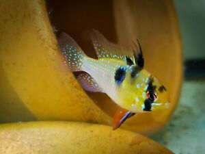 German Blue Ram Cichlid Live Tropical Freshwater Aquarium Fish