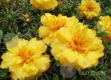 Yellow sun plant Flower seed 200 seeds Moss-rose Purslane Portulaca grandiflora