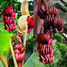 ALS_ 100Pcs Red Banana Seeds Sweet Delicious Fruit Tree Plants Garden Decor Show
