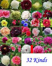 32 Arten Paeonia rockii Samen, Baum Pfingstrose, Tree peony 640 Samen