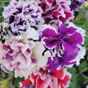 Petunia Pirouette mixture F1 Flower Seeds