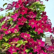 100 Pcs/bag Clematis Seeds Flowers Plants Garden Mixed Perennial Bonsai