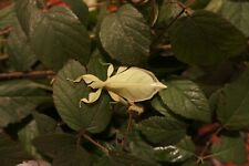 """RARE Eggs of NEW 2020!! leaf insect """"Phyllium gardabagusi"""" x30"""