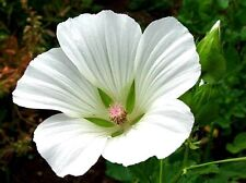 20+ WHITE MALOPE TRIFIDA FLOWER SEEDS /  MALLOW / ANNUAL EARLY SPRING BLOOM