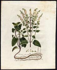 Antique Print-TEUCRIUM SCORODONIA-WOOD SAGE-Sepp-Flora Batava-1800