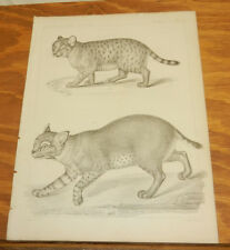 1860 Antique Print/MAMMALS - RED LYNX & PANTHER