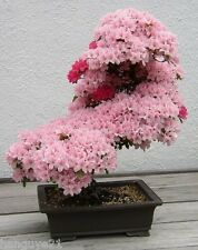 Prunus Serrulata Japanese Sakura Flowering Pink Cherry Bonsai Tree Seeds 20Pcs