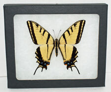 Real Framed Butterfly Papilio Multicaudata in Riker Mount,Two Tailed Swallowtail