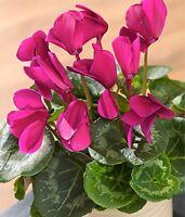 10 Semillas de Cyclamen  (Pelargonium Horturum Bailey)