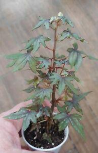 Begonia Dregei  ~~ great for bonsai ~ Maple Leaf Begonia