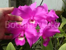 Botanica Ltd. Guarianthe / Cattleya skinneri Am/Aos Species Orchid Plant