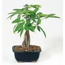 Money Tree Bonsai Home Office Stylish Tropical Decor Ideal Gift Easy to Grow