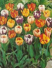 20, 50 oder 100 Gemischte Rembrandt Tulpen Tulpenzwiebeln