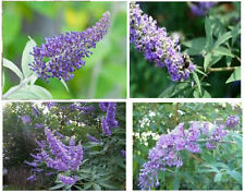Beautiful Lilac Lavender Butterfly Bush   100 SEEDS