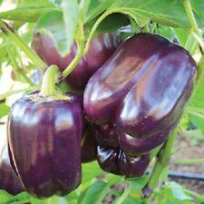 Seeds Rare Sweet Pepper Lilac Bell Vegetable Organic Heirloom Russian Ukraine