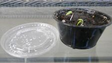 Japanese Maple Seedlings Germinated Planted and Shipped PRIORITY MAIL to you NOW