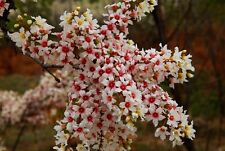 Xanthoceras Sorbifolium 5 Seeds, Hardy Yellowhorn Stunning Shrub or Small Tree