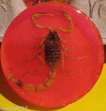 "Real Scorpion Inside an Acrylic 1 5/8"" x 1/2"" Round Paperweight Orange NEW"