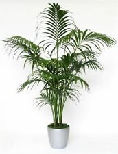 Howea forsteriana - Kentia Palm -  Large Seeds