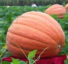 FD1037 Pumpkin Seed Giant Pumpkin Vegetables Seed Tender and Juicy Healthful 5pc