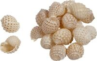 "6 Maculated Tun (Tonna Tesselata) Shells 5-5.5"" (Set of 6)"