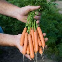 Vegetable - Carrot - Adelaide - 500 Seeds
