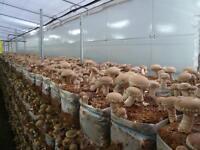 Shiitake RL-7 Mushroom / Mycelium Spores Spawn Dried Seeds from Ukraine