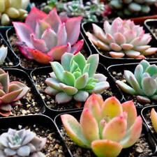 100 Rare Mix Succulent Plants Seeds Multicapacity Process Organic Bulk Seed New
