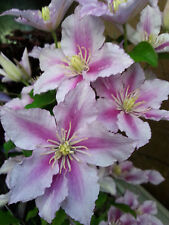 Waldrebe Clematis Hybride Pillu 40-60cm großblumiger Sommerblüher