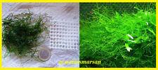Planta de acuario, gambario, paludario.Musgo de Java moss.VESICULARIA DUBYANA