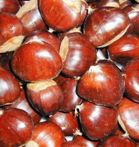 Fresh Australian Chestnuts 2021 Season - 5kg Pack Extra Large Nuts - Organic