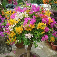 100PCS Flower Seeds Fashion Bonsai Lots Bougainvillea Speetabilis Mixed Color HE