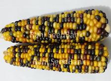 Corn Maya - An Unique, Stunning Black Yellow Corn Variety!!!