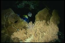 156035 Scuba Diver In Cave With Pacific Sea Fans A4 Photo Print