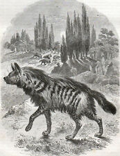 STRIPED HYENA 1854 John Cassell - Animals  ANTIQUE ENGRAVING