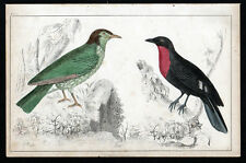 ARAPONGA SUMMER BIRD AND RED-BREASTED FRUIT CROW 1850 ENGRAVING