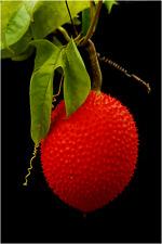 20 seeds Natural Organic GAC FRUIT Momordica cochinchinensis Herb