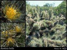 Wongan Dryandra Seed Gazetted Rare Plant Golden Flowers (Banksia bella)