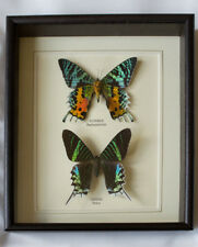 Real Ripeus & Leilus Butterfly Hand Set- Framed In UK Beautiful GIft Taxidermy