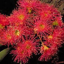 Corymbia ficifolia Red Flowering Gum advanced native plant 75mm pot Eucalyptus