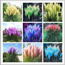 500 Pcs Rare Pampas Grass Plant Ornamental Flowers Plant Seeds For Home Garden